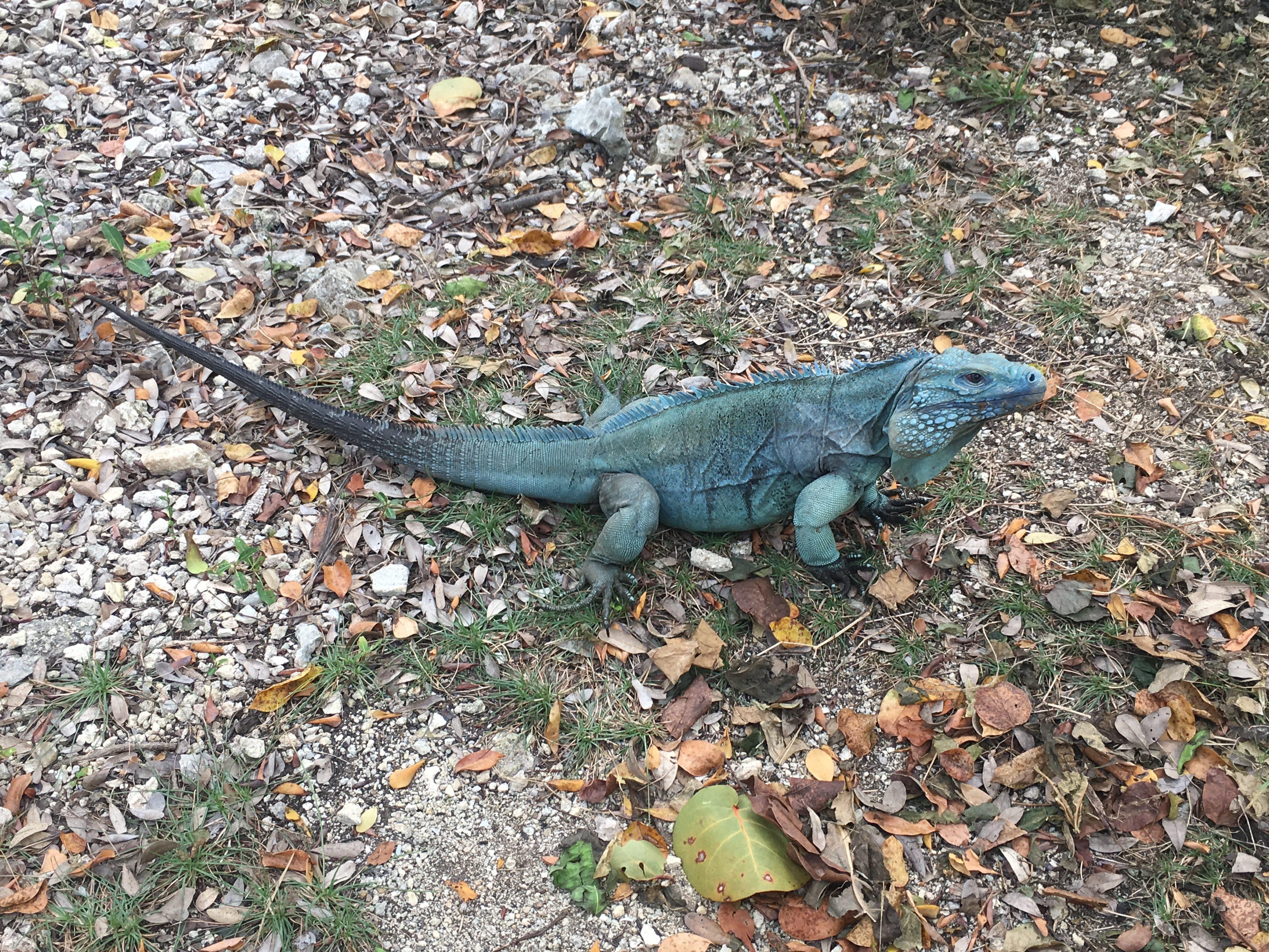Grand Cayman's native species Blue Iguana